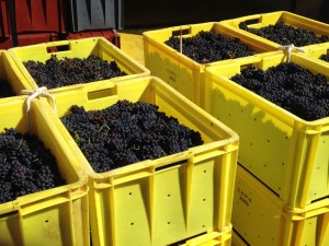 Grapes arriving at the winery ready to be sorted and pressed
