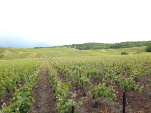 Pinot Meunier growing at Canard Duchene